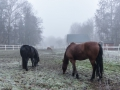 dimma_horses_9141